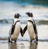 African penguins. Spheniscus demersus. African penguins in evening twilight Royalty Free Stock Photos