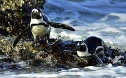 African penguins (spheniscus demersus) leave the ocean Stock Photography