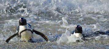 African penguins (spheniscus demersus) leave the ocean Royalty Free Stock Image