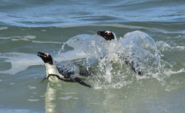 African penguins (spheniscus demersus) leave the ocean Stock Photos