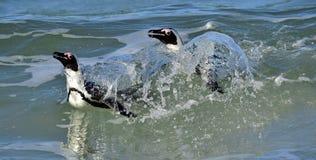 African penguins (spheniscus demersus) leave the ocean Royalty Free Stock Images