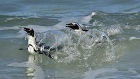 African penguins (spheniscus demersus) leave the ocean Stock Image