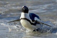 African penguins (spheniscus demersus) leave the ocean Stock Images