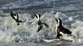 African penguins (spheniscus demersus) leave the ocean Stock Photo