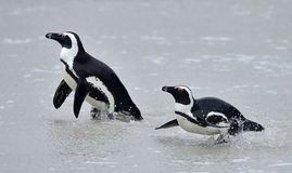 African penguins (spheniscus demersus) Stock Photography