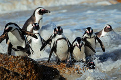 African penguins. (Spheniscus demersus) in shallow water, Western Cape, South Africa Stock Photography