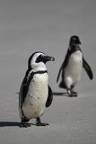 African Penguins (Spheniscus demersus) Royalty Free Stock Photo