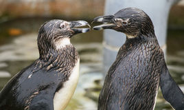 African penguins Spheniscus demersus Stock Photography