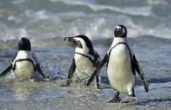 African penguins (spheniscus demersus) Royalty Free Stock Photo