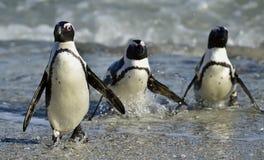 African penguins (spheniscus demersus) Stock Images