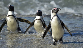 African penguins (spheniscus demersus) Royalty Free Stock Image