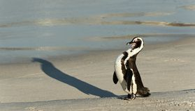 African penguins. Royalty Free Stock Photography