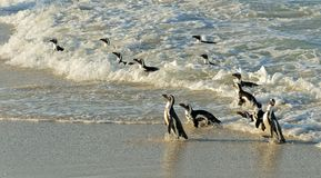 African penguins. Royalty Free Stock Images