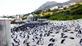 African Penguins standing on the Boulders Beach. stock photo