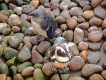 2 African Penguins standing on multi-coloured rocks looking camouflaged stock images