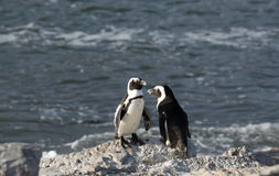 African penguins standing on a rock South Africa Royalty Free Stock Image