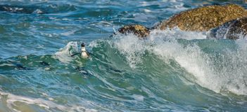 African penguins swim in the blue water of the ocean and foam of the surf. Royalty Free Stock Images