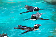 African penguins swimming Stock Image