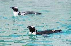 African penguins. African penguins swimming in national park Royalty Free Stock Images