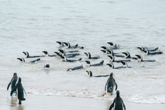 African penguins swimming near the shore Stock Image