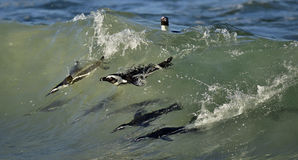African penguins swimming in ocean. Royalty Free Stock Images