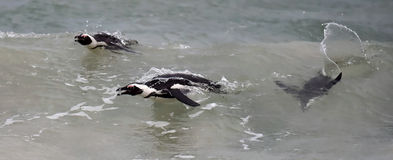 African penguins swimming in ocean. Stock Photos