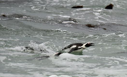 African penguins swimming in ocean. Stock Image