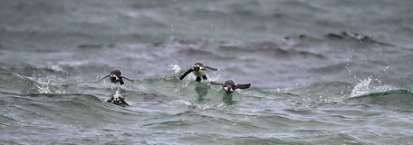 African penguins swimming in ocean. Royalty Free Stock Photography