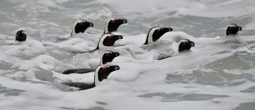 African penguins swimming in ocean. Royalty Free Stock Image