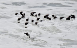 African penguins swimming in ocean. Royalty Free Stock Photos