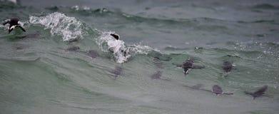 African penguins swimming in ocean. Stock Image
