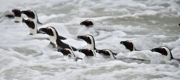 African penguins swimming in ocean. Stock Photo