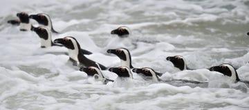 African penguins swimming in ocean. Stock Photo