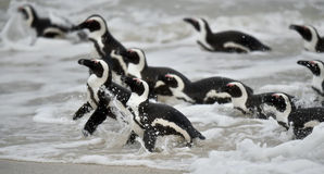 African penguins swimming in ocean. The African penguin (Spheniscus demersus), also known as the jackass penguin and black-footed penguin is a species of Royalty Free Stock Photo