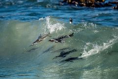 African penguins swimming in ocean wave. The African penguin (Spheniscus demersus), also known as the jackass penguin and black-fo Stock Photo
