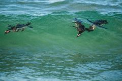 African penguins swimming in ocean wave. Stock Images