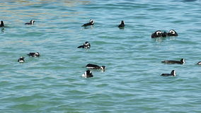 African penguins swimming stock video