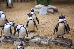 African penguins in the Tbilisi zoo, the world of animals.  stock photography