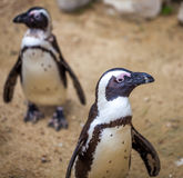African penguins in the Tbilisi zoo, the world of animals.  royalty free stock photo