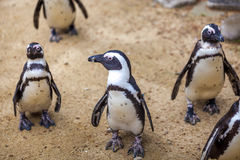 African penguins in the Tbilisi zoo, the world of animals.  royalty free stock photography