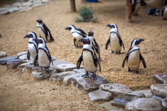 African penguins in the Tbilisi zoo, the world of animals.  royalty free stock photos