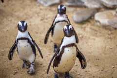 African penguins in the Tbilisi zoo, the world of animals.  stock images