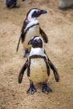 African penguins in the Tbilisi zoo, the world of animals.  stock photo