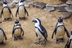 African penguins in the Tbilisi zoo, the world of animals.  stock image