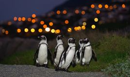 The African penguins in twilight. Stock Photography