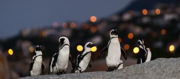 The African penguins in twilight. Stock Photos