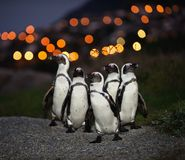 The African penguins in twilight. Royalty Free Stock Photo