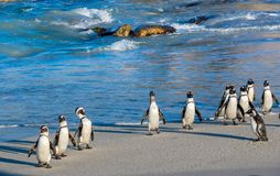 African penguins walk out of the ocean on the sandy beach. African penguin  Spheniscus demersus also known as the pengui Royalty Free Stock Photos