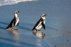 African penguins walk out of the ocean on the sandy beach. African penguin  Spheniscus demersus also known as the pengui Stock Photo