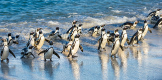 African penguins walk out of the ocean on the sandy beach. African penguin  Spheniscus demersus also known as the jackass pengui. N and black-footed penguin Stock Photos